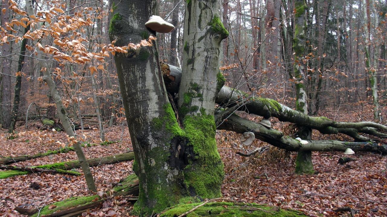 На стволе бука лесного (Fagus sylvatica) Автор фото: Валерий Афанасьев