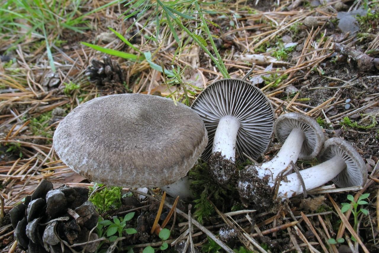 Рядовка землистая (Tricholoma terreum) Автор фото: Валерий Афанасьев