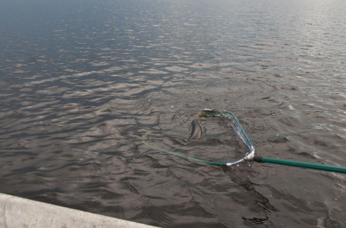 Юра принимает крокодила в подсачек. Автор фото: Вячеслав Степанов