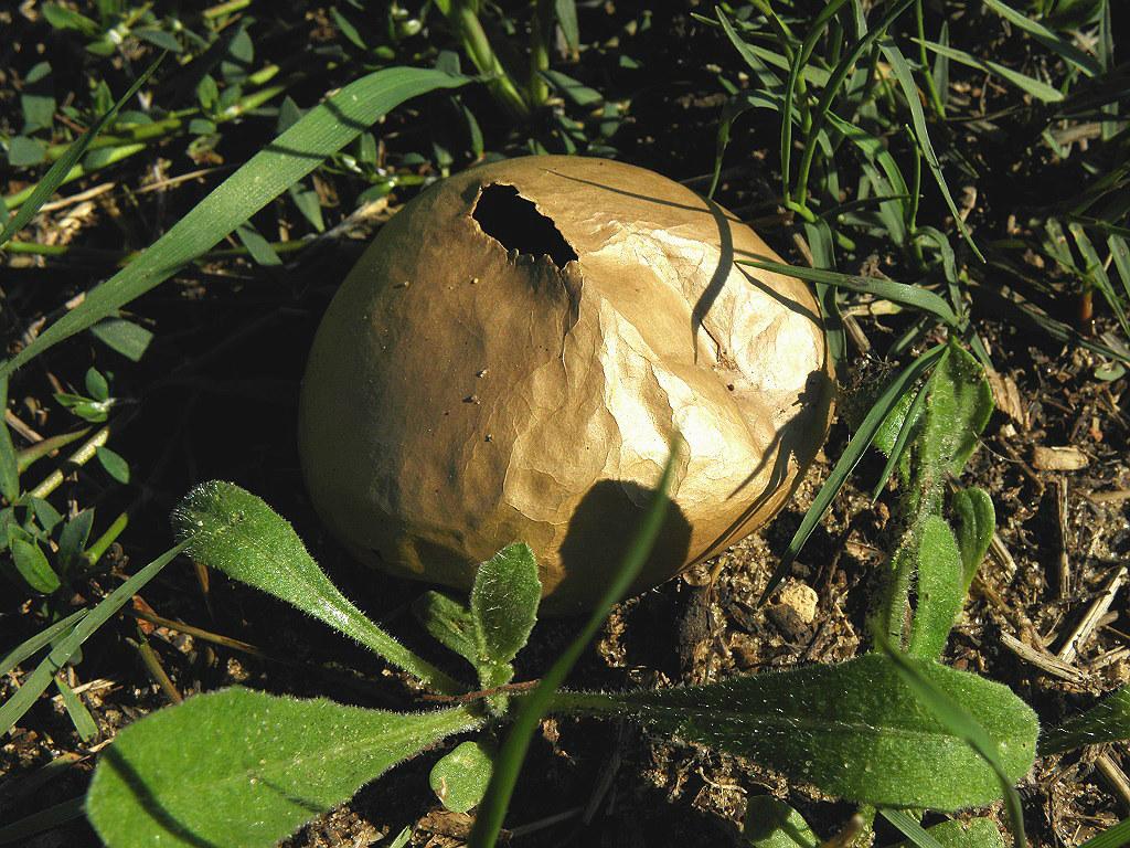 Грибы найдены на севере Израиля в лесопарке в траве.  Автор фото: Александр Гибхин