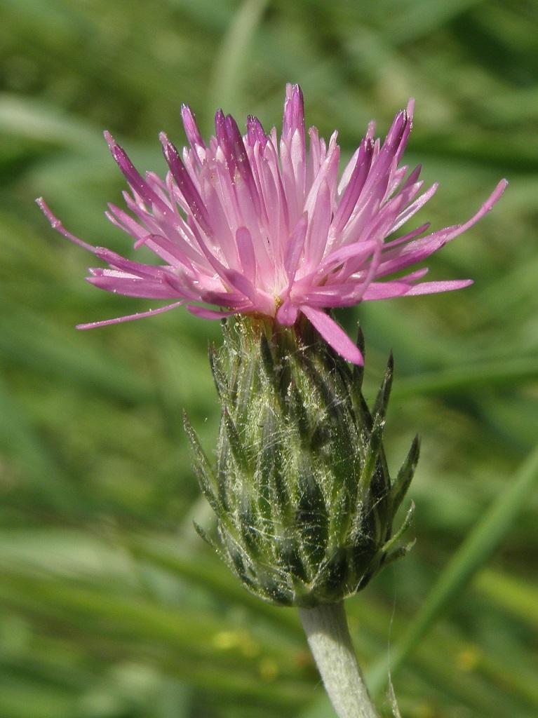 Растение встречается в степных биотопах Израиля. Автор фото: Александр Гибхин