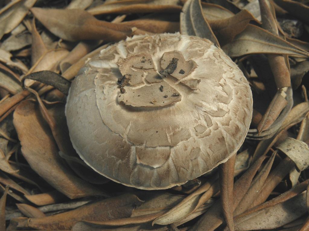 Эти грибы можно найти в парках и садах центральной части Израиля в октябре- ноябре месяце каждый год. Это один из видов Шампиньонов, которые совсем не меняют цвет при разрезании. Так же не имеют какого-то определённого запаха. Автор фото: Александр Гибхин
