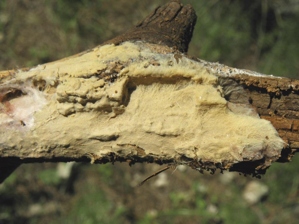 Грибы найдены в сосновом лесу рядом с городом Бейт Шемеш. Автор фото: Александр Гибхин