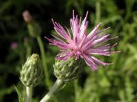 s:травянистые,c:фиолетовые или лиловые,c:фиолетовые,соцветия - корзинки,d:в Израиле