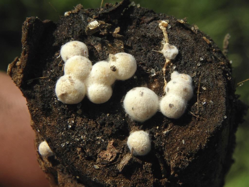 Грибы найдены на разлогающейся древесине в эвкалиптовом лесопарке. Автор фото: Александр Гибхин
