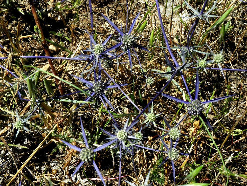 Растение встречается в лесах севера Израиля. Автор фото: Александр Гибхин