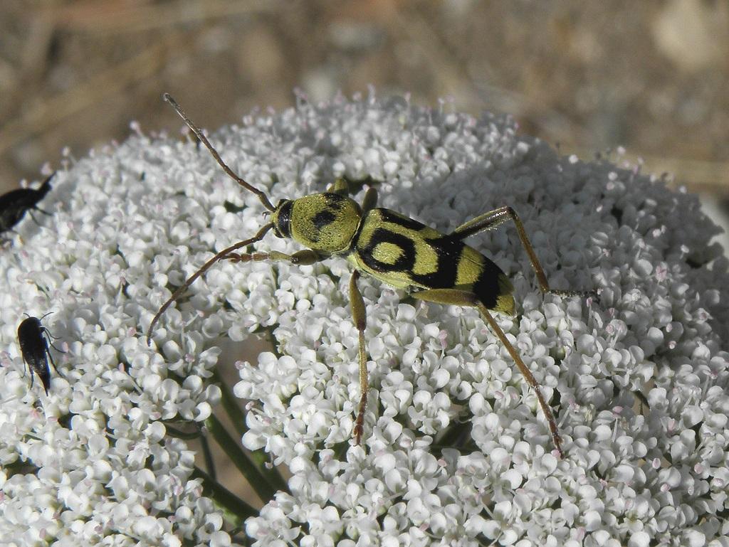 Эти жуки встречаются в северной и центральной частях Израиля. Chlorophorus varius damascenes Автор фото: Александр Гибхин