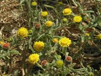 s:травянистые,c:желтые,d:в Израиле