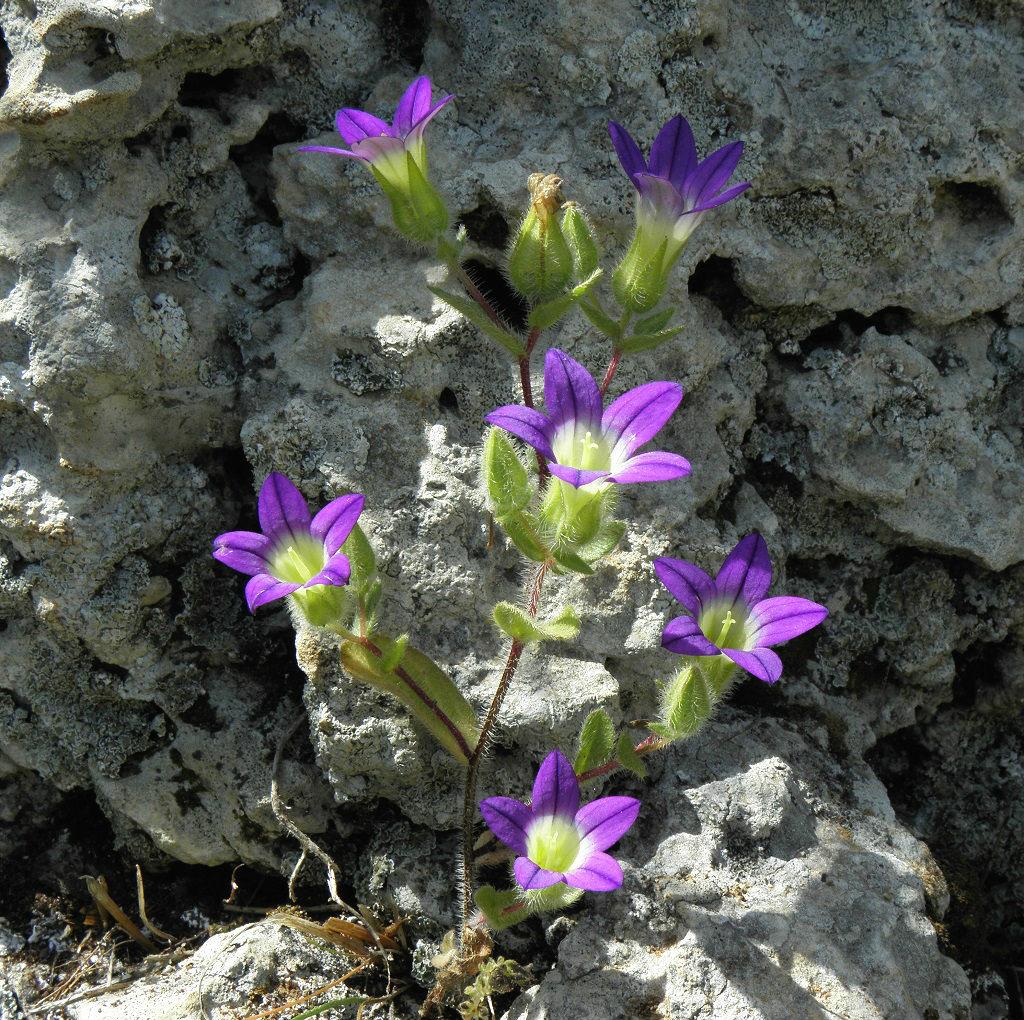 Произростает в лесах на севере и в центре Израиля. Автор фото: Александр Гибхин