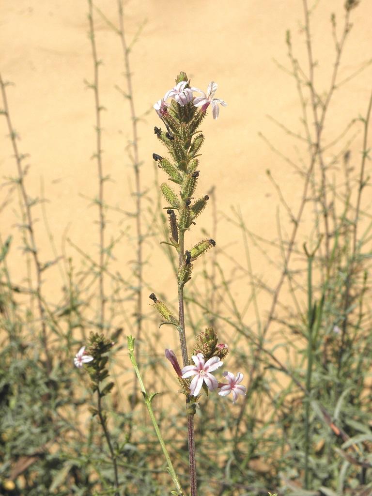 Растение предпочитает сухие песчаные места не далеко от побережья Средиземного моря. Автор фото: Александр Гибхин