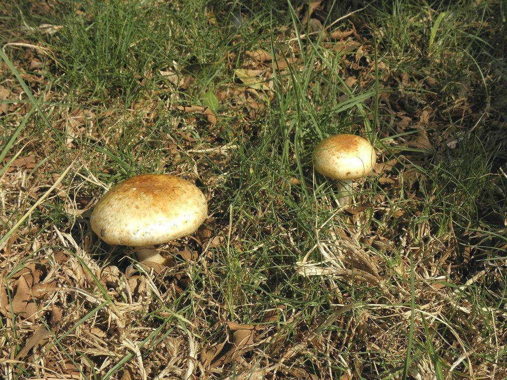 Грибы найдены в парке в городе Ашдод. Грибы имели запах горького миндаля. Автор фото: Александр Гибхин