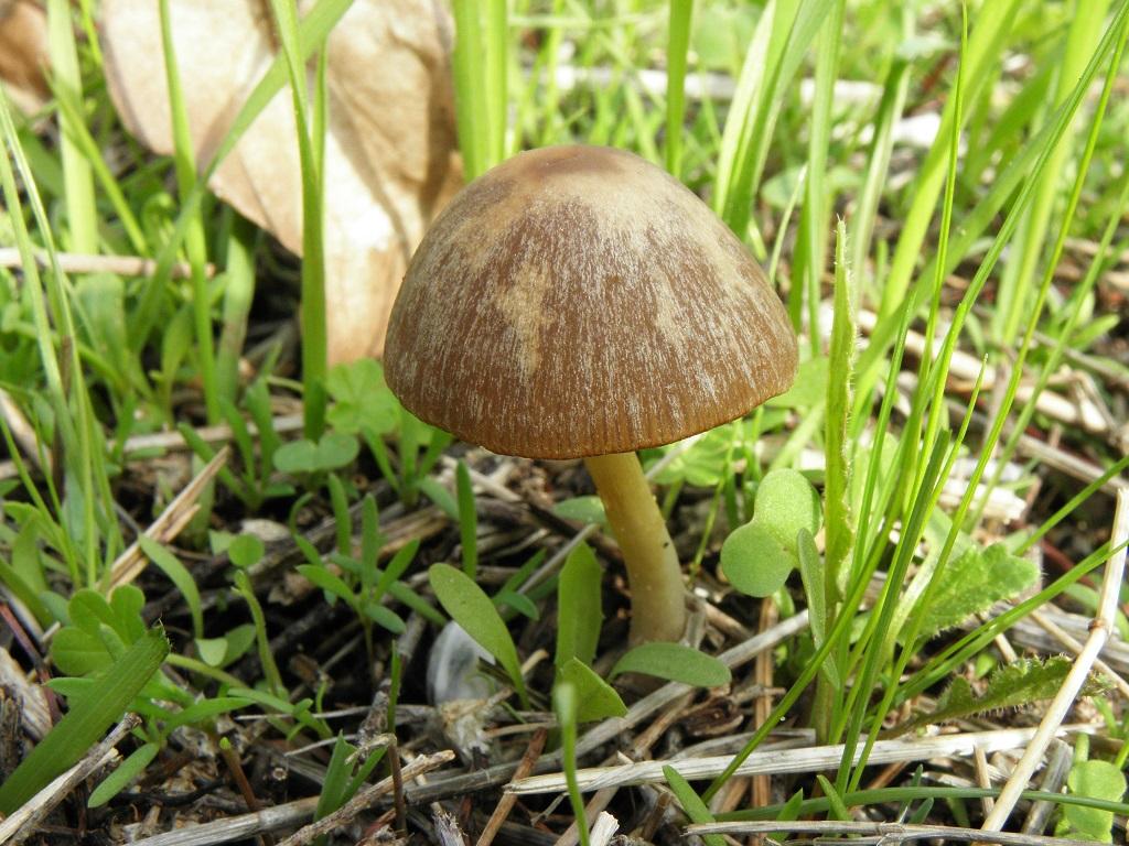 Произростает в лиственных лесах, в парках и садах Израиля. Автор фото: Александр Гибхин
