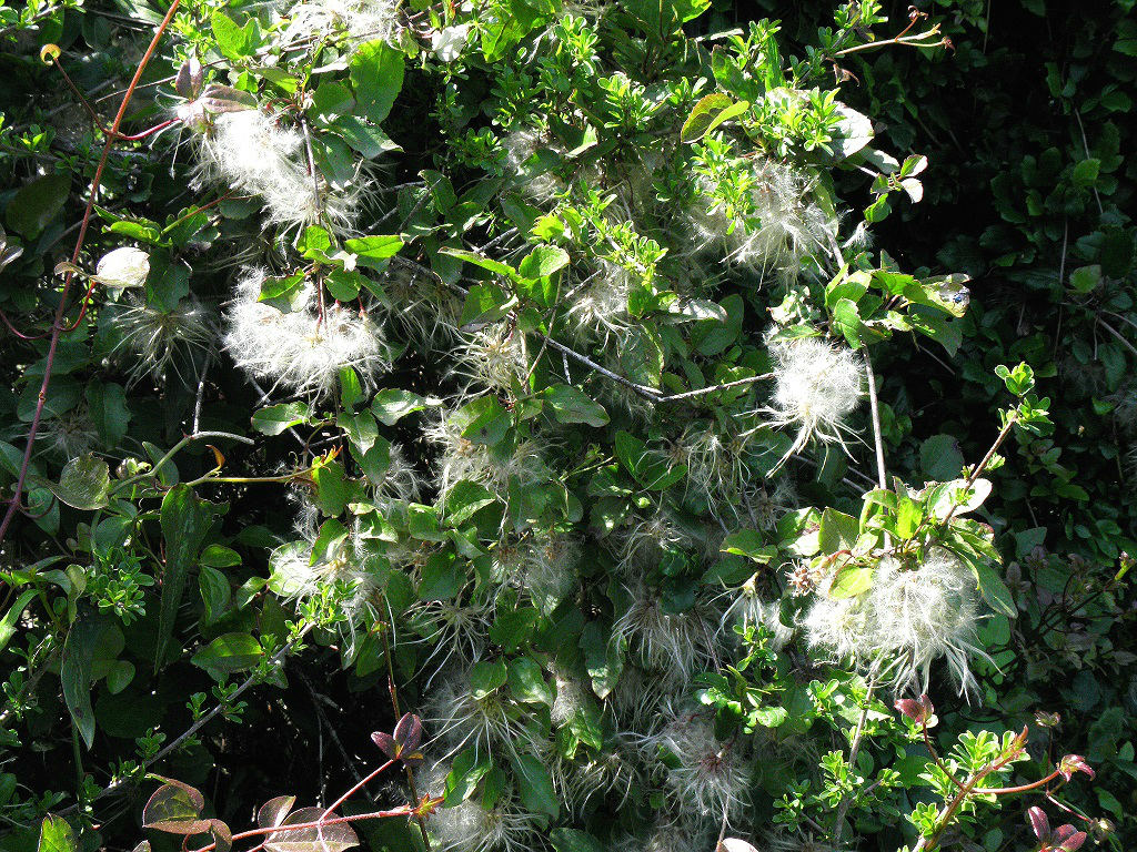 Вьющееся растение. Встречается в лесах под Иерусалимом. Автор фото: Александр Гибхин
