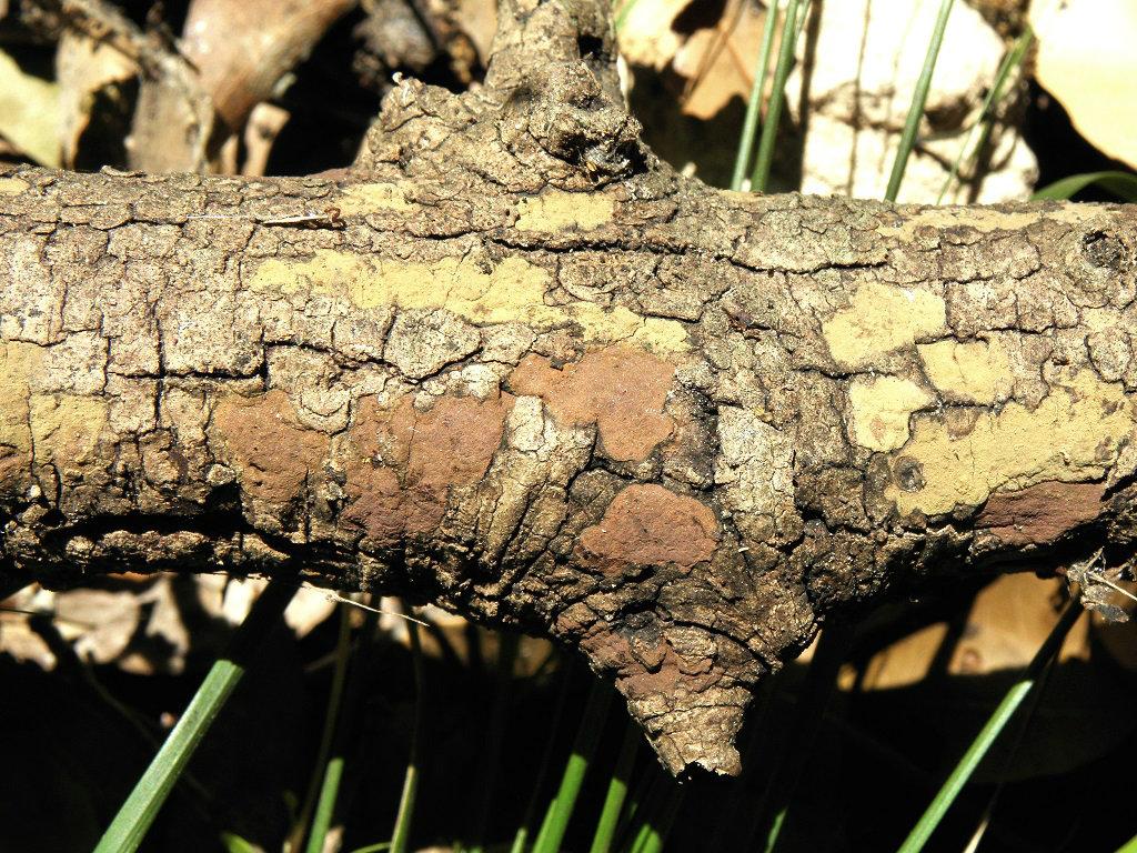 Грибы найдены в дубовом лесу в марте не далеко от населённого пункта Зихрон-Яаков. Автор фото: Александр Гибхин