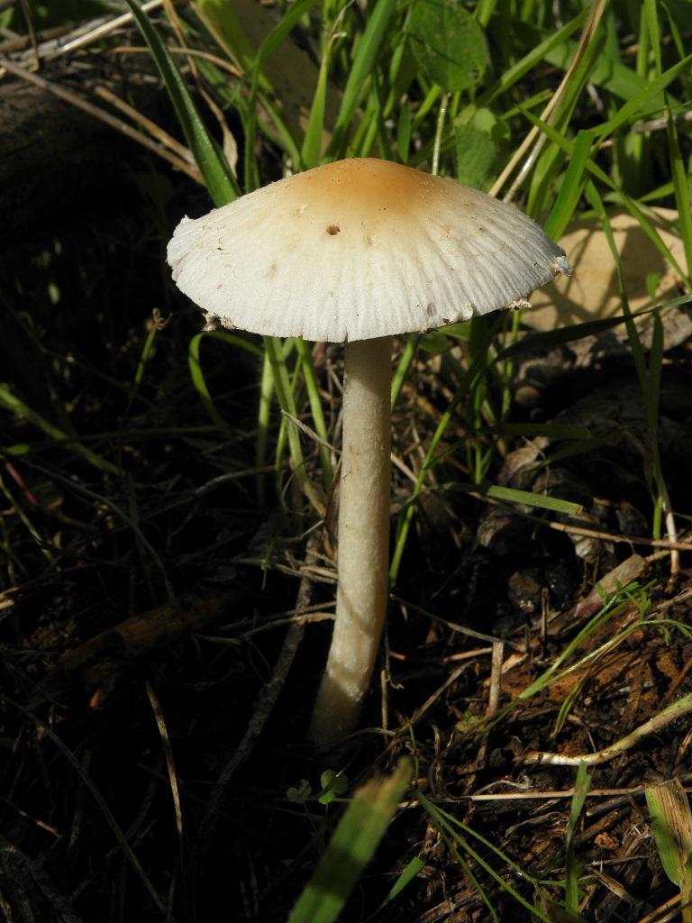 Эти грибы очень часто встречаются в центре и на севере Израиля. Автор фото: Александр Гибхин