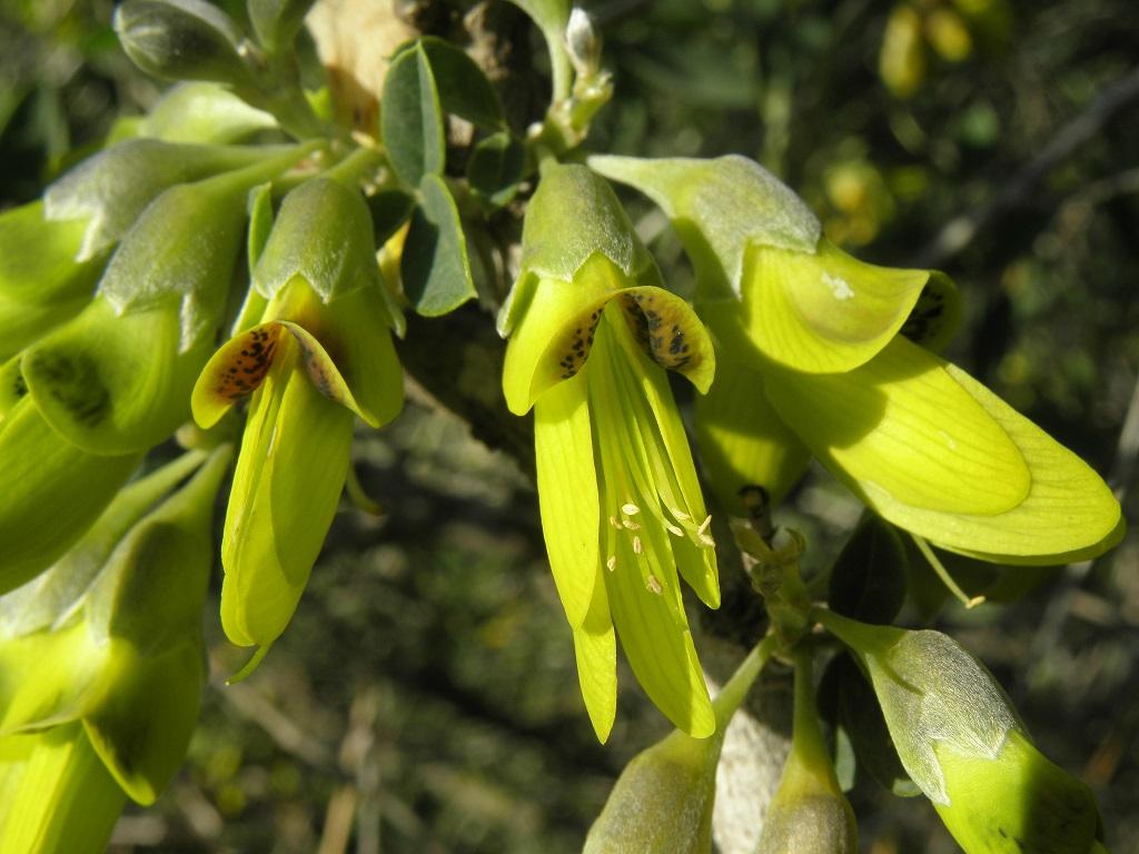Кустарник. Встречается в степных и полупустынных биотопах. Цветы этого кустарника красивые, но имеют очень не приятный аромат. Автор фото: Александр Гибхин