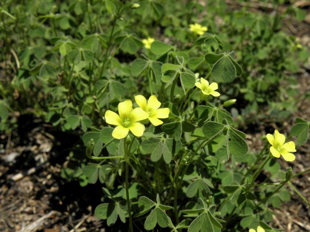 Растение широко распространено в северной и центральной частях Израиля. Часто встречается в парках и садах. Автор фото: Александр Гибхин