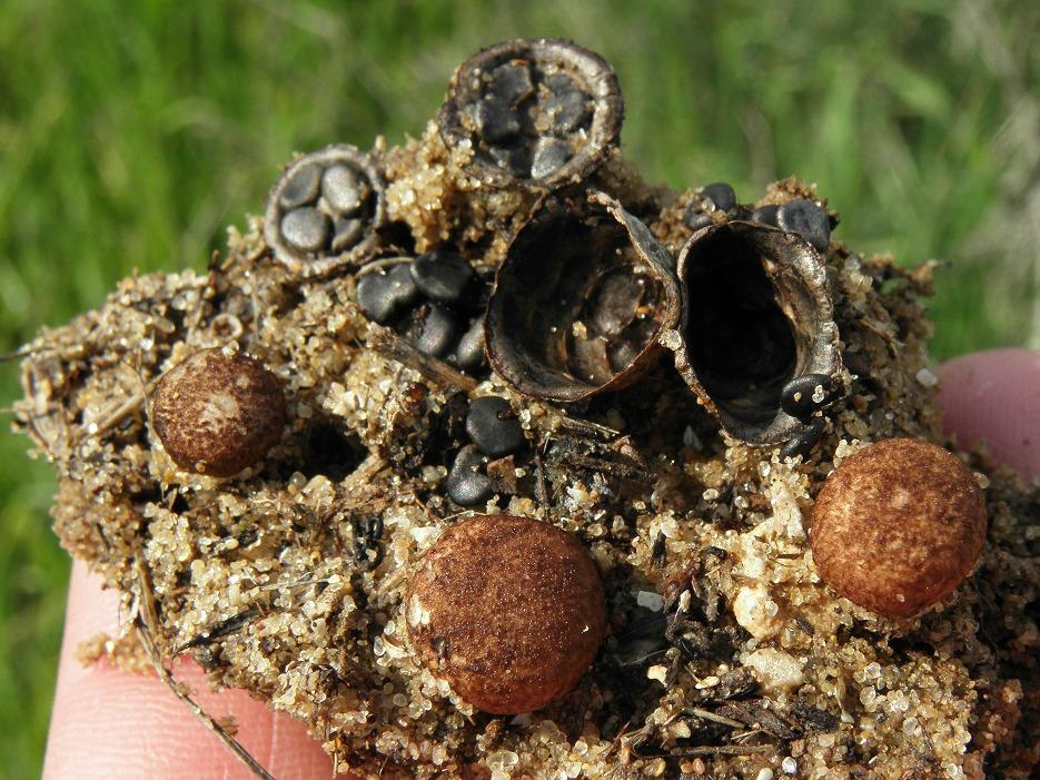 Грибы найдены в парке на удобренной земле. Автор фото: Александр Гибхин