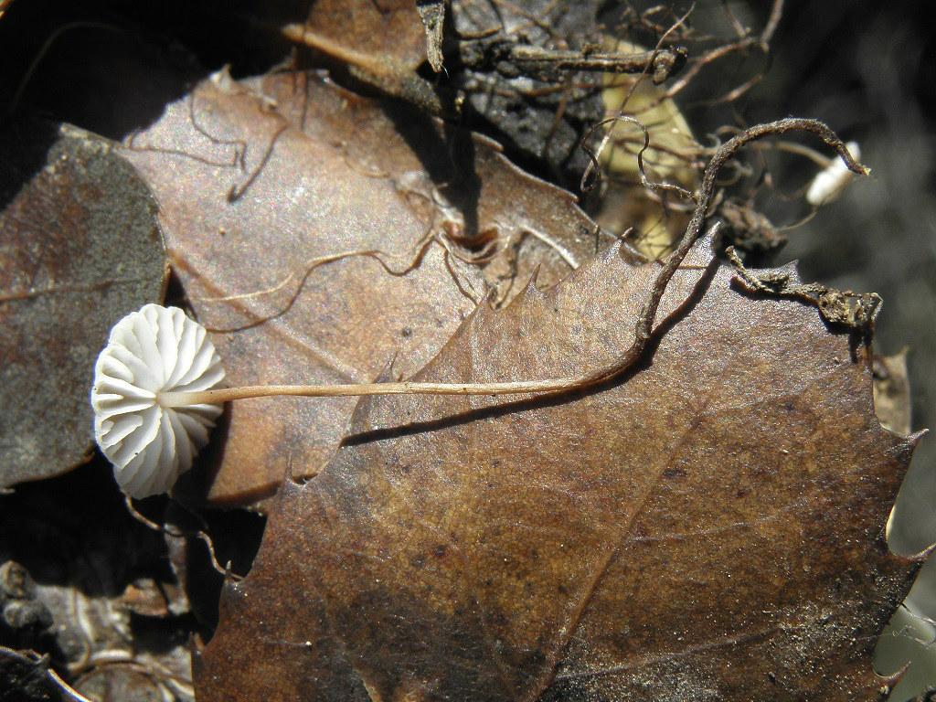 Грибы найдены на горе Кармель под дубами. Росли на дубовом опаде. Ноябрь. 2018. Автор фото: Александр Гибхин