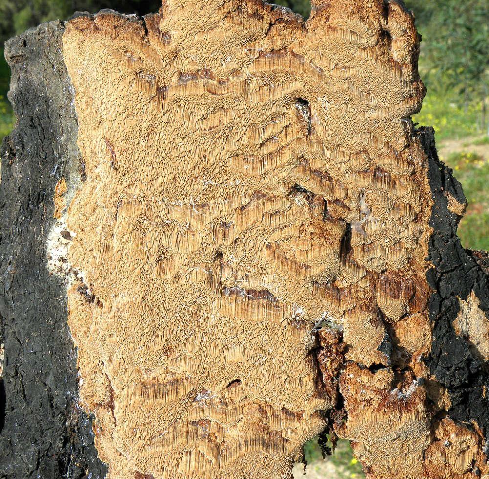 Очень распространённый вид в эвкалиптовых лесопарках Израиля. Произростает на валеже Эвкалиптов и некоторых видов Акаций. Автор фото: Александр Гибхин