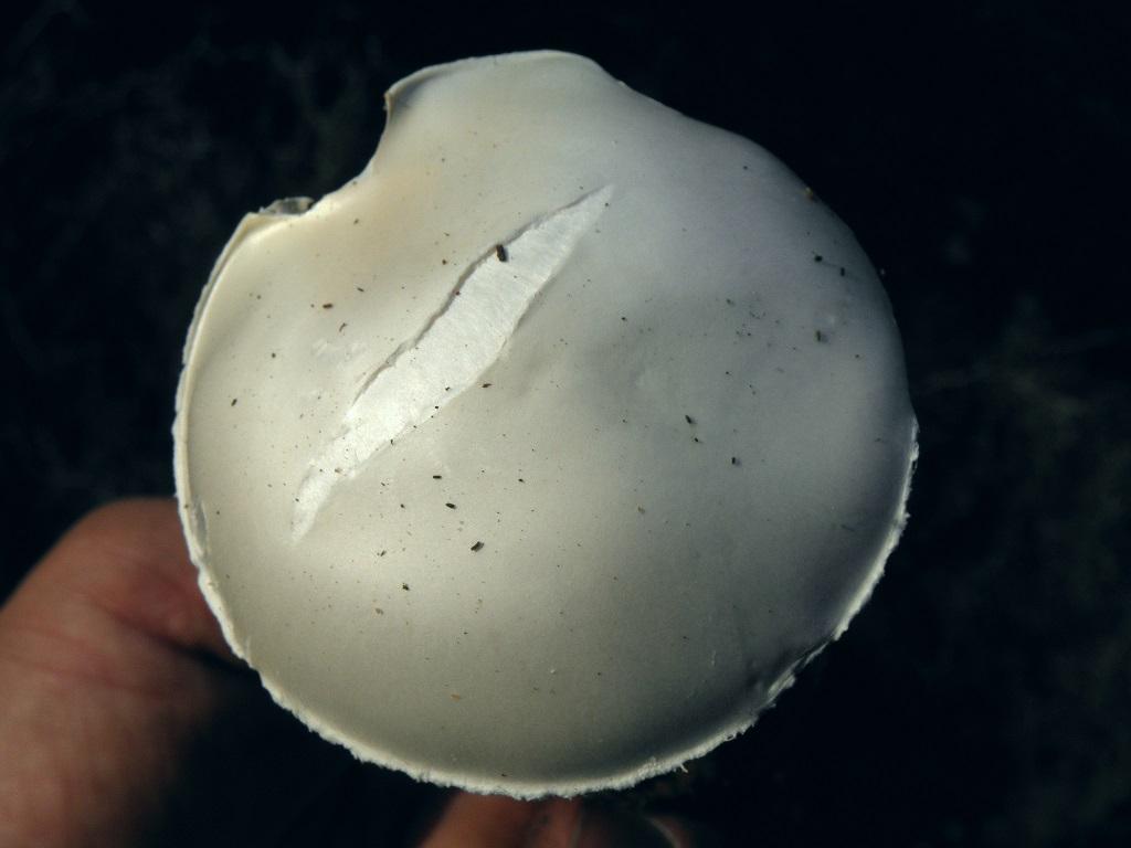 Грибы росли на горе Кармель под соснами. Смертельно ядовитый гриб. Неопытные грибники путали эти грибы с ростущими рядом съедобными молодыми Мухоморами яйцевидными. По этой причине было несколько смертельных случаев. Amanita echinocephala мельче Мухомора яйцевидного. Так же необходимо смотреть на цвет вольвы грибов. У Мухоморов яйцевидных вольва всегда белого цвета. У Amanita echinocephala вольва бывает жёлтого, оранжевого и коричневого цвета. Так же у Amanita echinocephala нет свисающих хлопьев по краям шляпки, как у Мухомора яйцевидного.  Если вы не уверенны в видовой принадлежности гриба, то не стоит его брать! Автор фото: Александр Гибхин
