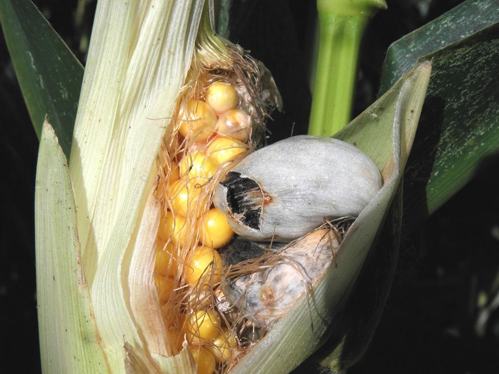 Паразитирует на кукурузных початках. Съедобный гриб. Эти грибы так же называют кукурузным трюфелем или уитлакоче. Автор фото: Александр Гибхин
