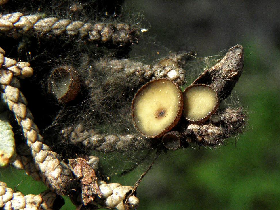 Редкий вид. Грибы были найдены на опаде Кипариса вечнозелёного не далеко от города Ашдод. Грибы имеют мицелий тёмно-серого цвета, как паутина опутывающий разлагающиеся веточки. Автор фото: Александр Гибхин
