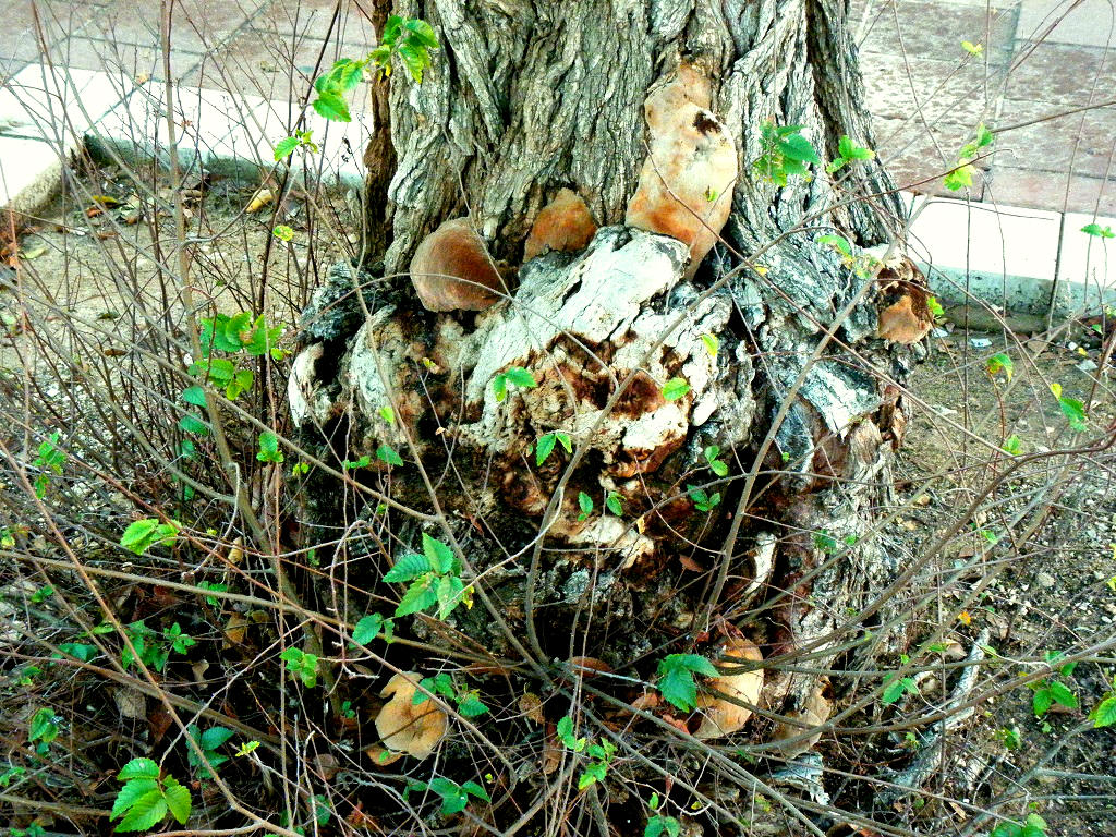 Грибы найдены в городе Ашдод на старом ясене. В сухую погоду грибы имеют яркий ораньжевый или каштаново-коричневый цвет. Во время продолжительных дождей цвет меняется на более тусклые тона, на серо-оранжевый и серо-коричневый. Ткань созревшего гриба мягкая, тёмно-ржавого цвета, концентрически-зональная, рассыпающаяся. Редкий гриб. Автор фото: Александр Гибхин