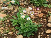 s:розеточные,s:травянистые,c:белые,соцветия - корзинки,лепестков 7 и более,d:в Израиле
