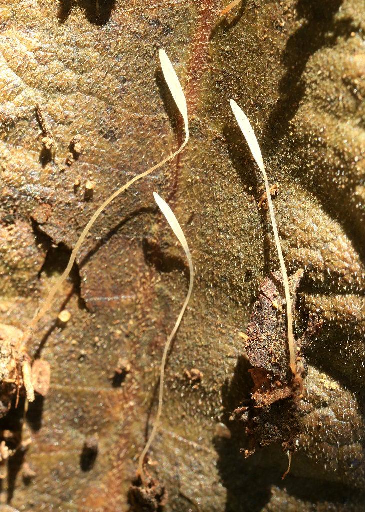 Мелкие Тифулы, найдены возле города Ашдод на опаде Фигового дерева. Первая находка в Израиле. К сожалению место обитания гриба находится под угрозой уничтожения. Попробую пересадить гриб в другое место. Апотеции этих Тифул выростают из небольших овальных склероциев коричневого цвета. Декабрь 2018 года. Автор фото: Александр Гибхин