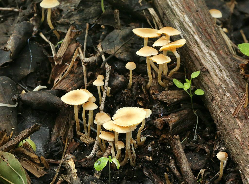Не крупные грибы, найдены возле города Ашдод. Создают микоризу с Ziziphus spina-christi. Автор фото: Александр Гибхин
