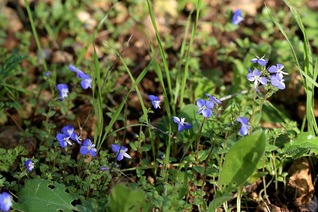 Этот вид вероники предпочитает для роста поляны в горных лесах на севере Страны. Автор фото: Александр Гибхин