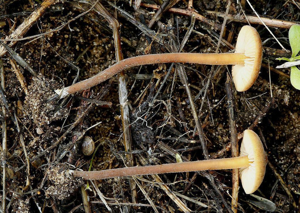 В районе моего проживания распространён подвид Macrocystidia cucumis var. latifolia. Отличается меньшими по размеру шляпками ораньжевого цвета и  немного более крупными спорами. Грибы встречаются на  лугах, в лиственных и хвойных пролесках. Автор фото: Александр Гибхин