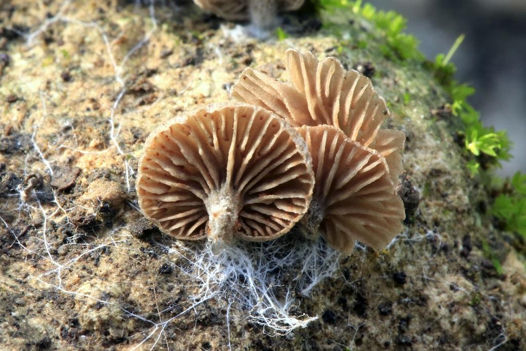 Грибы найдены в кипарисовом лесу на камнях среди мха. Плодовые тела трудно заметить из-за неброского цвета и мелкого размера. Ноябрь 2018 г. Автор фото: Александр Гибхин