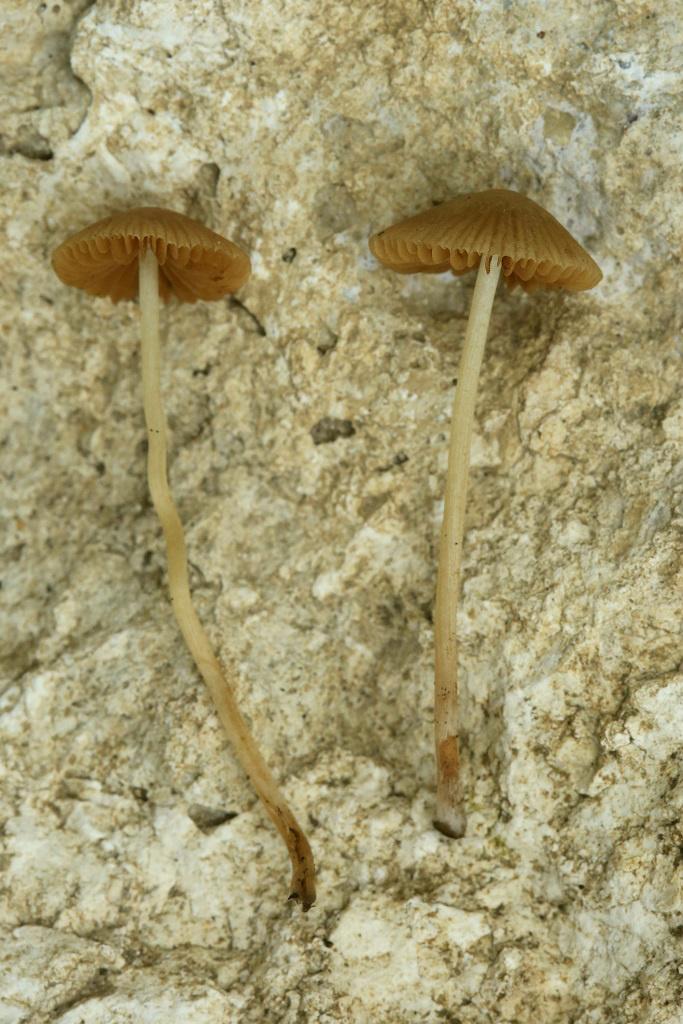 Грибы найдены на поляне в траве, в хвойном лесу рядом с городом Модиин. Шляпки достигают 2 см в диаметре. Гигрофанные. Грибы очень хрупкие. Начало января. 2019 г. Автор фото: Александр Гибхин