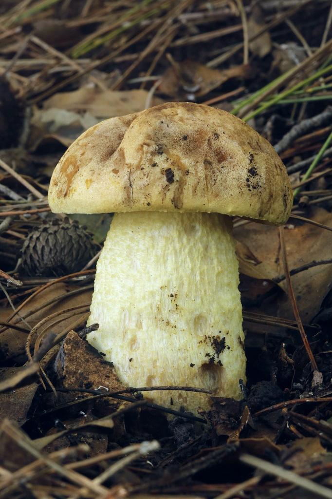 Единственный вид из рода Leccinellum , обитающий на територии Израиля. Грибы найдены на горе Кармель рядом с городом Хайфа, в смешаном сосново-дубовом лесу. Декабрь, 2018. На разрезе цвет долго не меняет. По этой причине и из-за своей формы и цвета, часто грибниками принимается за Белый или Полубелый гриб.Особого запаха и вкуса гриб не имеет, При сушке чернеет. Автор фото: Александр Гибхин