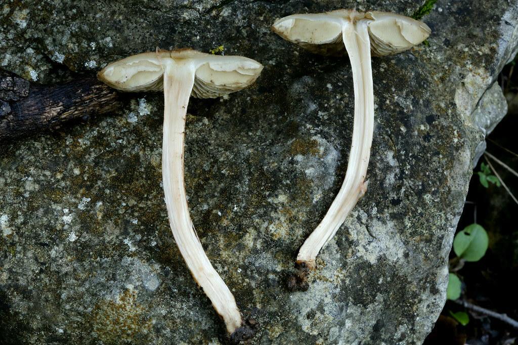 Грибы найдены на горе Кармель под дубами. Январь 2019 г. Автор фото: Александр Гибхин