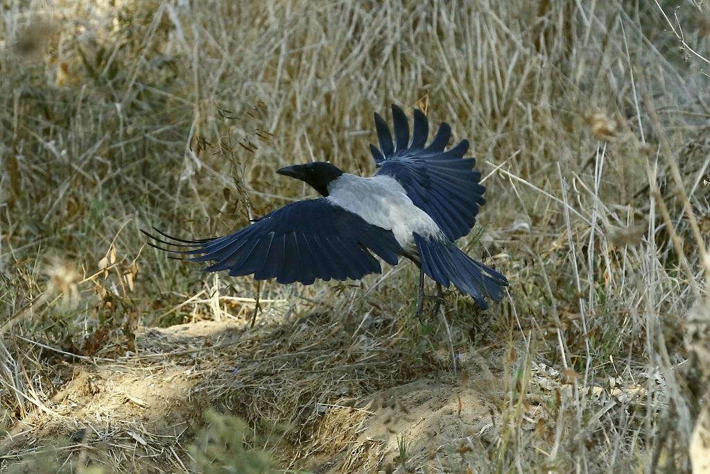 Серая ворона (Corvus cornix). Автор фото: Александр Гибхин