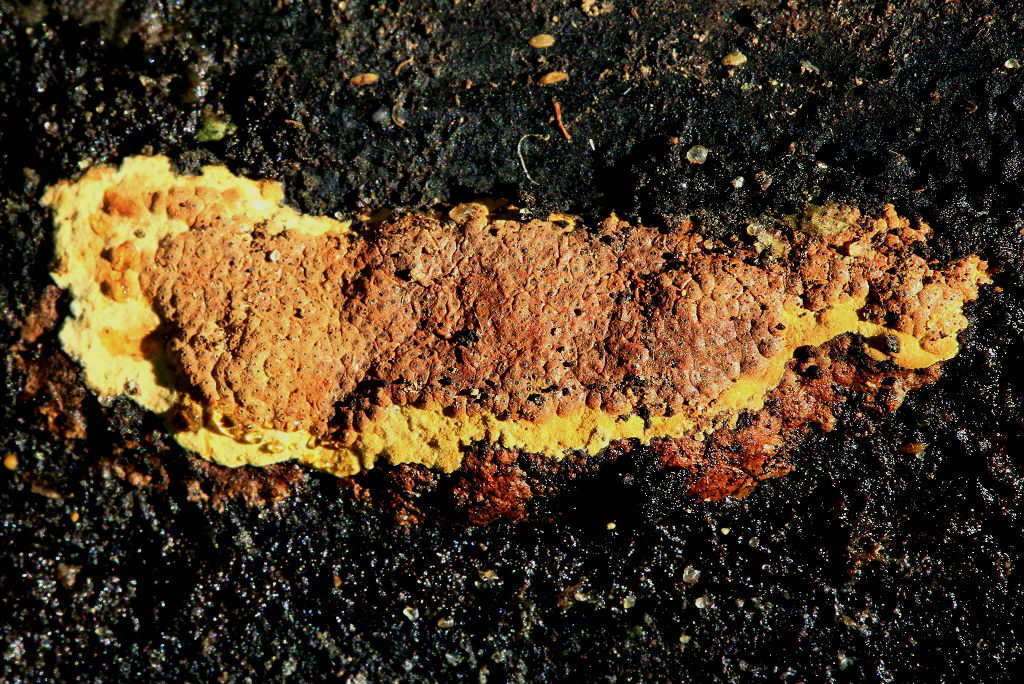 Грибы найдены на валеже Акации ивовой рядом с городом Ашдод и так же на горе Кармель. Апрель 2019 г. Автор фото: Александр Гибхин