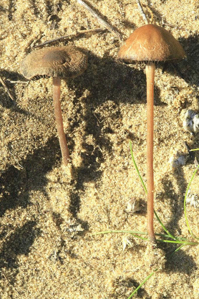 Грибы найдены рядом с городом Ашдод, на лугу, где в прошлом году паслись лошади. Первая находка этого вида в Израиле. Февраль 2019 год. Автор фото: Александр Гибхин