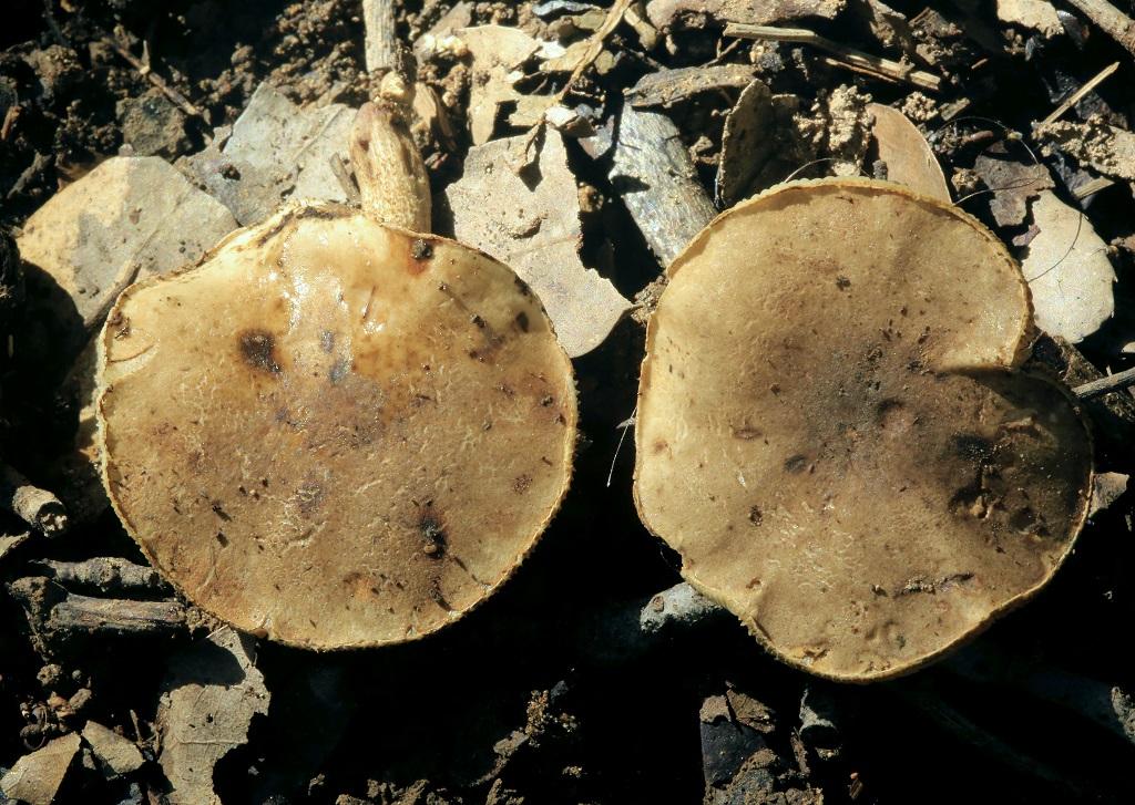Редкий гриб. Эндемик Израиля. Диаметр шляпки около 3 см. Особого запаха и вкуса не имеет. Грибы найдены на горе Кармель, рядом с соснами. Февраль 2019 г. Автор фото: Александр Гибхин