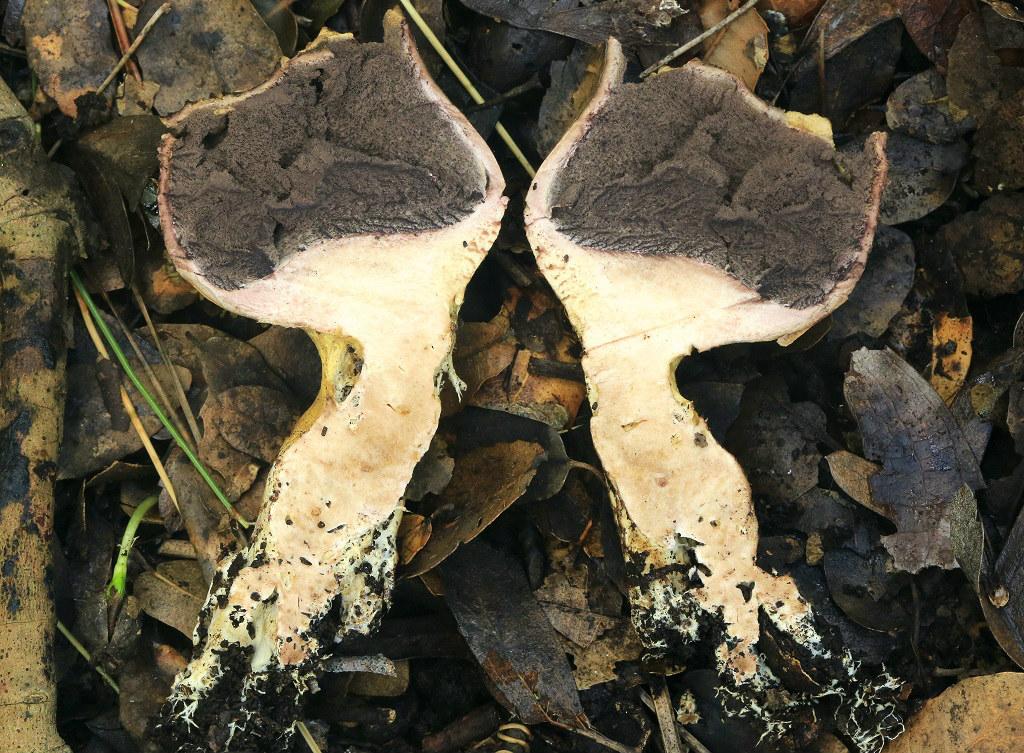 Часто встречаемый в дубовых лесах вид. Грибы найдены на горе Кармель. Январь 2019 г. Автор фото: Александр Гибхин