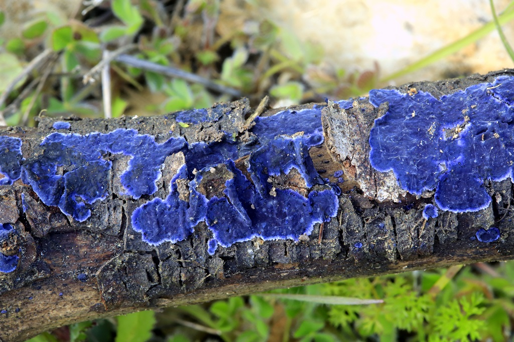 Грибы найдены на сосновом валеже, на севере Израиля. Февраль 2019 г. Автор фото: Александр Гибхин