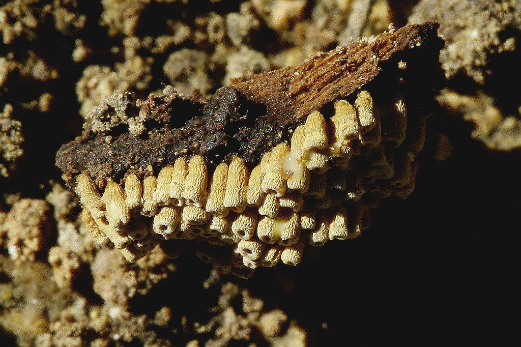 Грибы найдены на горе Кармель, в низине на валеже Земляничного дерева. Февраль 2019 г.  Первая находка этого вида в Израиле. Автор фото: Александр Гибхин