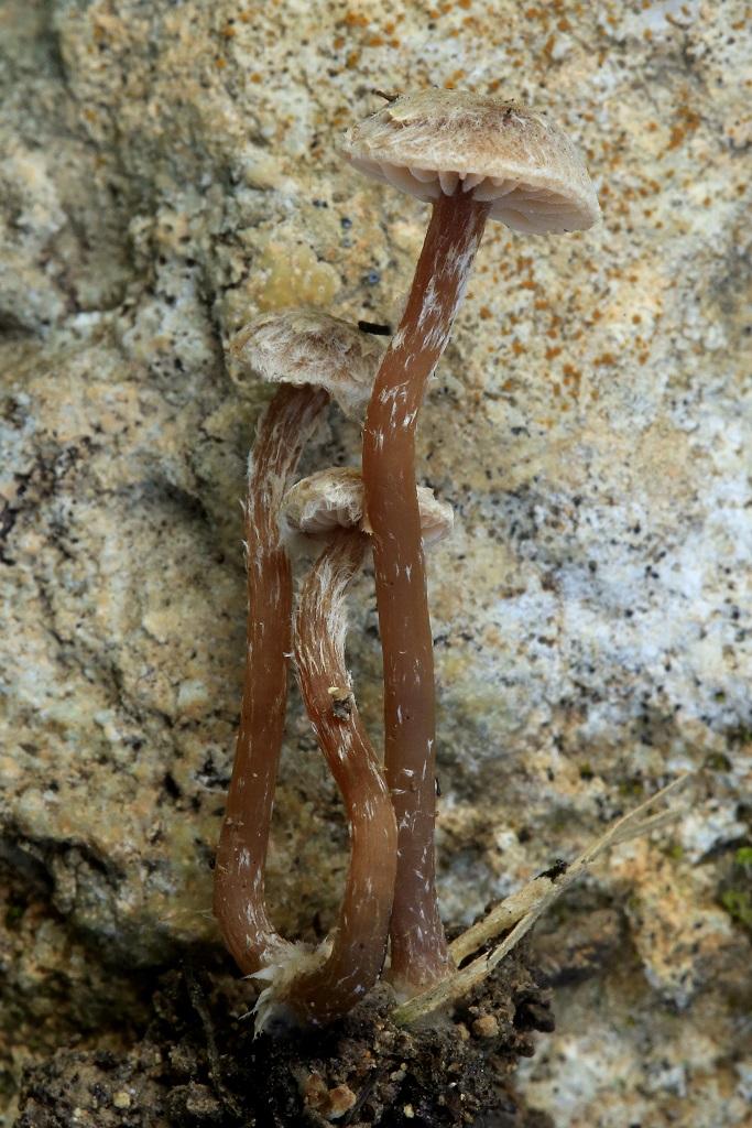 Редкий для Израиля вид Тубарий. Грибы были найдены на дне пересохшего ручья на Горе Кармель, на древесном мусоре, принесённом водой. Место роста было затенённым и очень влажным. Январь 2019 года. Автор фото: Александр Гибхин