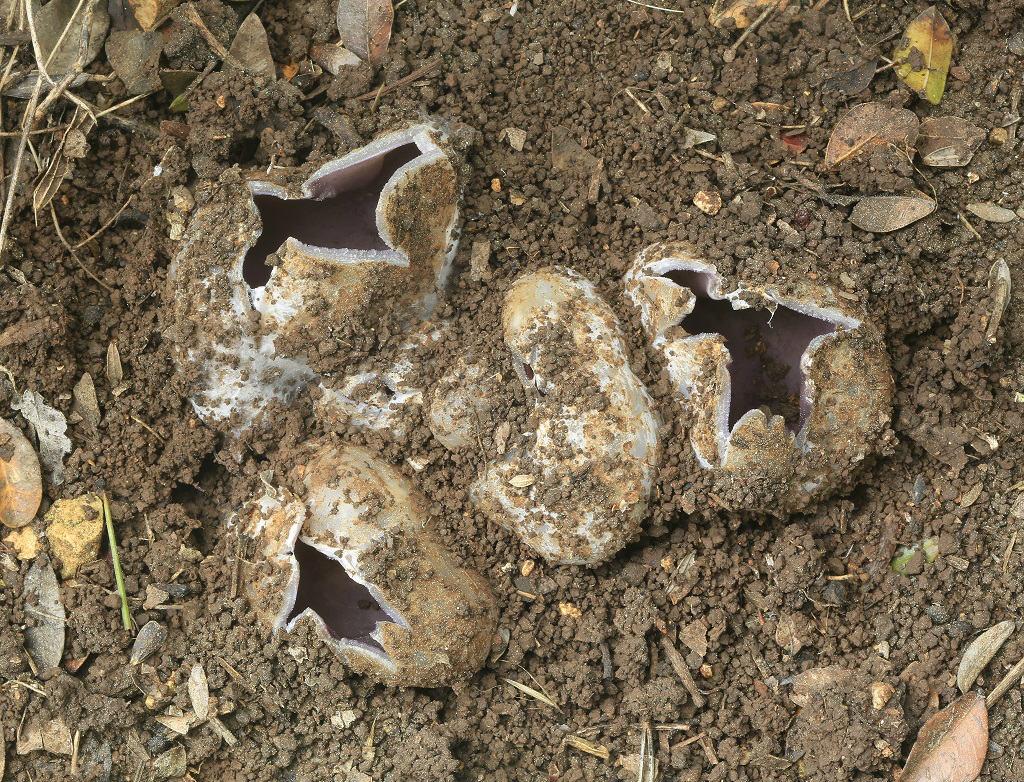 Грибы найдены в сосново-дубовом лесу на горе Кармель. Март. 2019. Автор фото: Александр Гибхин