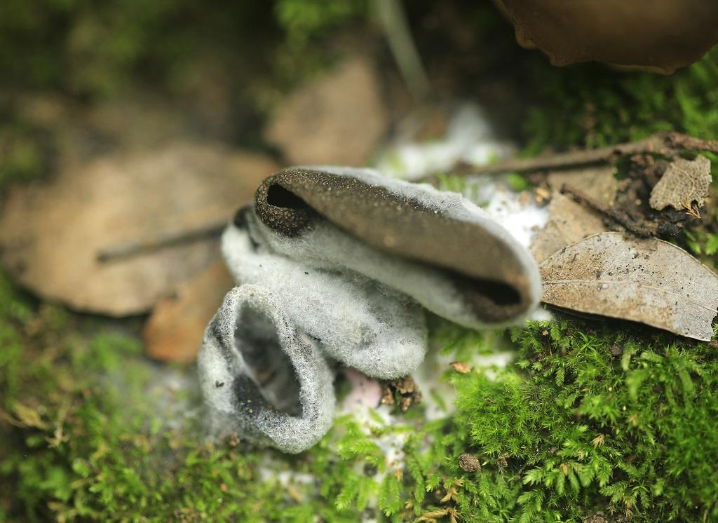 Микопаразит. Паразитирует на грибах рода Helvella. Грибы найдены на горе Кармель. Февраль 2019 г. Автор фото: Александр Гибхин
