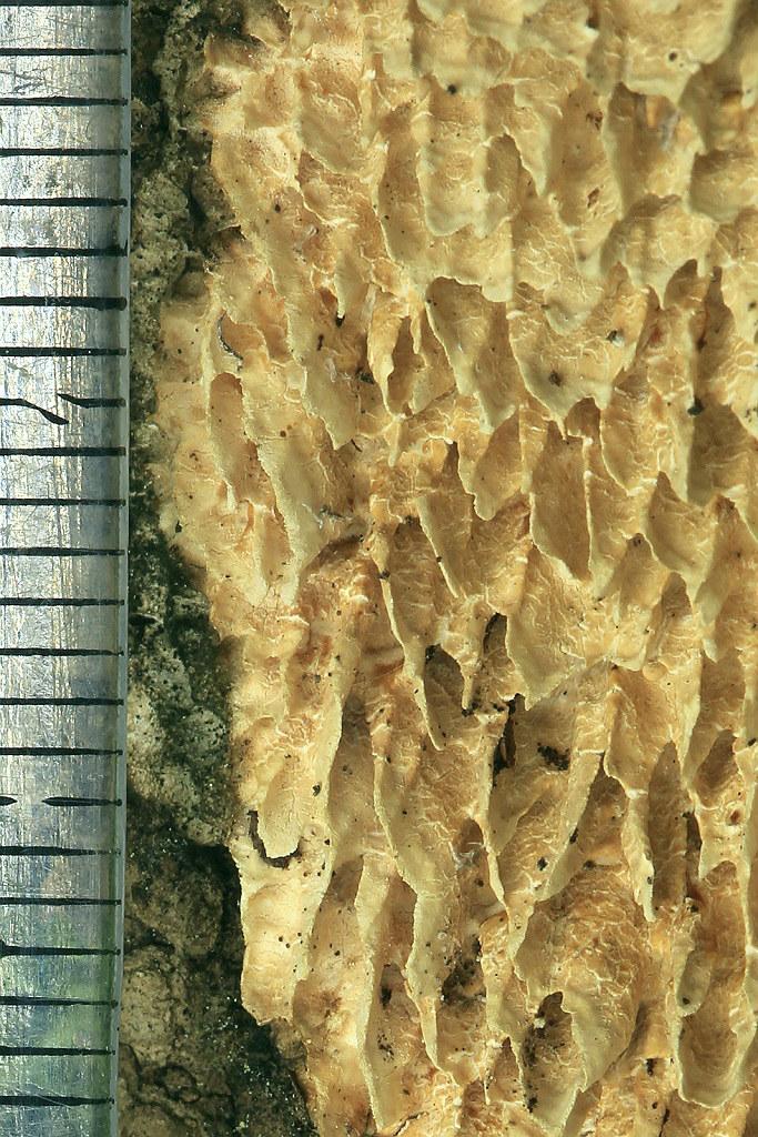 Грибы найдены на горе Кармель на валеже дуба. Крупные плодовые тела грибам редко удаётся развить из-за климатических условий Израиля. У грибов очень крупные поры, каждая от 1-3мм. Старые плодовые тела сначала желтеют, а при высыхании приобретают коричневый цвет. Март 2019 г. Автор фото: Александр Гибхин