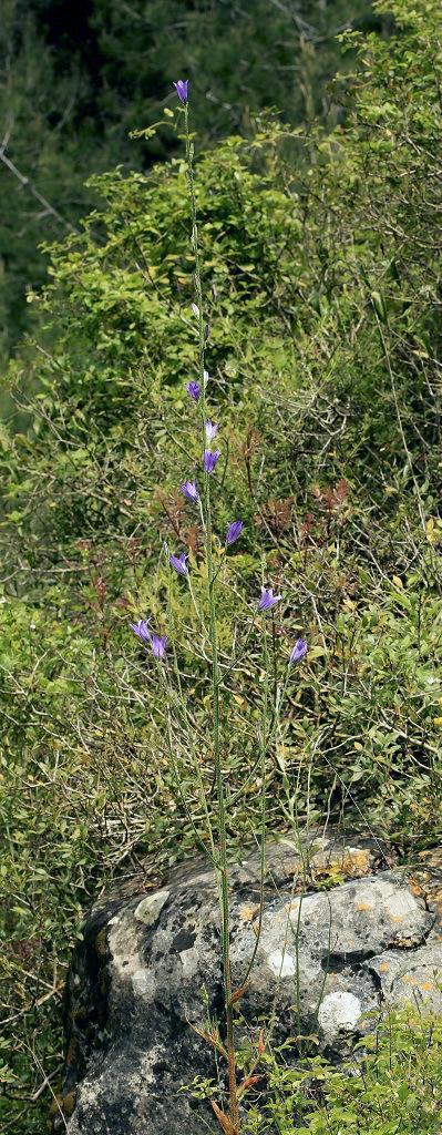 Это растение встречается весной во многих лесопарках Израиля. Апрель 2019 г. Автор фото: Александр Гибхин