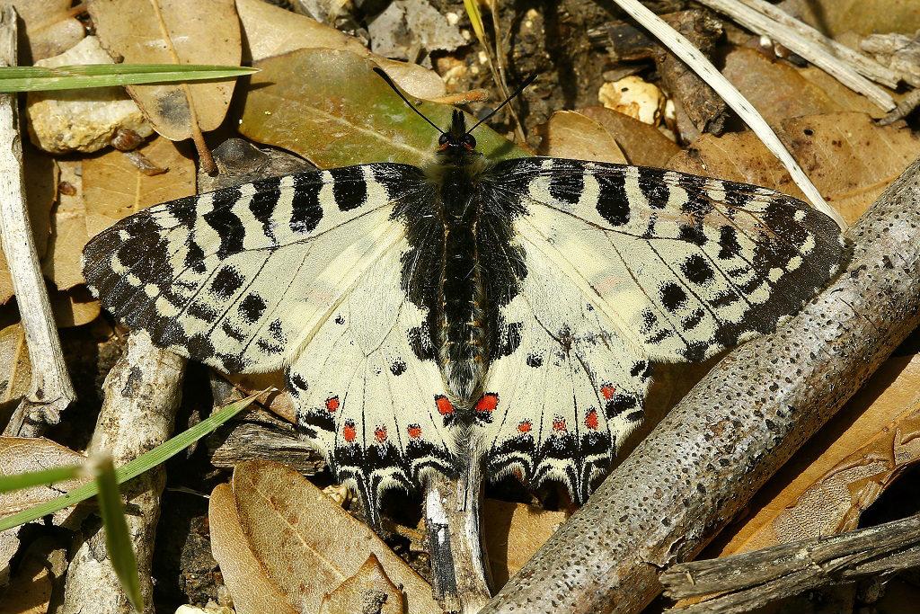 Красивая редкая бабочка. Обитает на севере Израиля. Её можно увидеть весной и летом. Автор фото: Александр Гибхин